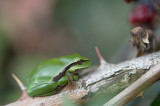 D40_6042F boomkikker (Hyla arborea, European Treefrog).jpg