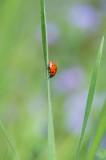 D40_8386F zevenstippelig lieveheersbeestje (Coccinella septempunctata, Seven-spot ladybird).jpg