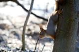 D40_1030F rode eekhoorn (Sciurus vulgaris, Red squirrel).jpg