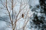 D40_1462F dwerguil (Glaucidium passerinum, Eurasian Pygmy Owl).jpg