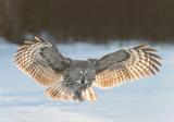 D40_4495F laplanduil (Strix nebulosa, Great Grey Owl).jpg