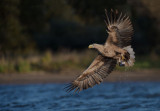 D40_8917F zeearend (Haliaeetus albicilla, White-tailed sea eagle).jpg