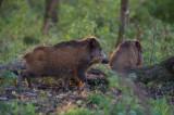 D40_0373F wild zwijn (Sus scrofa, wild boar).jpg