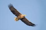 D40_9663F zeearend (Haliaeetus albicilla, White-tailed sea eagle).jpg