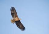 D40_9724F zeearend (Haliaeetus albicilla, White-tailed sea eagle).jpg