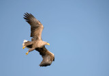 D40_1109F zeearend (Haliaeetus albicilla, White-tailed sea eagle).jpg