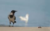 D40_1973F bonte kraai (Corvus cornix, Hooded Crow).jpg