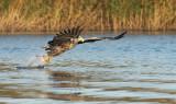 D40_9767F zeearend (Haliaeetus albicilla, White-tailed sea eagle).jpg