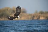 D40_0955F zeearend (Haliaeetus albicilla, White-tailed sea eagle).jpg