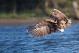 D40_8916F zeearend (Haliaeetus albicilla, White-tailed sea eagle).jpg