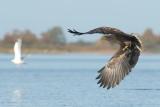D40_0091F zeearend (Haliaeetus albicilla, White-tailed sea eagle).jpg