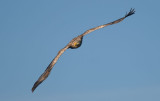 D40_0951F zeearend (Haliaeetus albicilla, White-tailed sea eagle).jpg