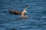 D40_1207F zeearend (Haliaeetus albicilla, White-tailed sea eagle).jpg