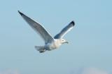 D40_8487F zilvermeeuw (Larus argentatus, European Herring Gull).jpg