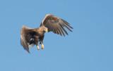 D40_0614F zeearend (Haliaeetus albicilla, White-tailed sea eagle).jpg