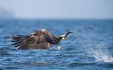 D40_1152F zeearend (Haliaeetus albicilla, White-tailed sea eagle).jpg