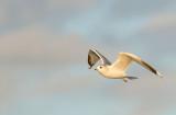 D40_9294F stormmeeuw (Larus canus, Mew Gull).jpg
