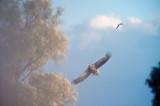 D40_8864F zeearend (Haliaeetus albicilla, White-tailed sea eagle).jpg