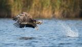 D40_9874F zeearend (Haliaeetus albicilla, White-tailed sea eagle).jpg