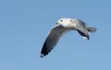 D40_0194F stormmeeuw (Larus canus, Mew Gull).jpg