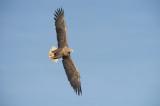 D40_9677F zeearend (Haliaeetus albicilla, White-tailed sea eagle).jpg