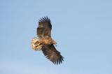 D40_9735F zeearend (Haliaeetus albicilla, White-tailed sea eagle).jpg