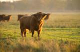 D40_0425F Schotse hooglander (Highland cattle).jpg