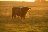 D40_0457F Schotse hooglander (Highland cattle).jpg