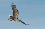 D40_0028F zeearend (Haliaeetus albicilla, White-tailed sea eagle).jpg