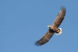 D40_9786F zeearend (Haliaeetus albicilla, White-tailed sea eagle).jpg