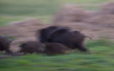 D40_1751F wild zwijn (Sus scrofa, wild boar).jpg
