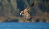 D40_0604F zeearend (Haliaeetus albicilla, White-tailed sea eagle).jpg