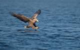 D40_0646F zeearend (Haliaeetus albicilla, White-tailed sea eagle).jpg