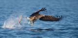 D40_0647F zeearend (Haliaeetus albicilla, White-tailed sea eagle).jpg