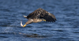 D40_1195F zeearend (Haliaeetus albicilla, White-tailed sea eagle).jpg