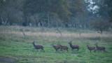 D40_1700F edelhert (Cervus elaphus, Red deer).jpg
