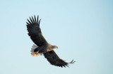 D40_9252F zeearend (Haliaeetus albicilla, White-tailed sea eagle).jpg