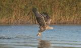D40_9768F zeearend (Haliaeetus albicilla, White-tailed sea eagle).jpg