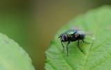 700_4482F groene vleesvlieg (Phaenicia sericata, Common Green Bottle Fly).jpg
