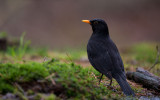 D40_3368F merel (Turdus merula, Common Blackbird).jpg