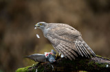 D40_2890F havik (Accipiter gentilis, Northern goshawk).jpg