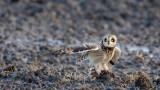 D40_5047F velduil (Asio flammeus, Short-eared Owl).jpg