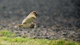 D40_4949F velduil (Asio flammeus, Short-eared Owl).jpg