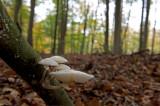 D4_0279F porseleinzwam (Oudemansiella mucida, Porcelain Fungus).jpg