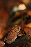700_8270F gewone pad (Bufo budo, Common Toad).jpg