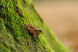700_8507F gewone pad (Bufo budo, Common Toad).jpg