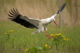 D40_3831F ooievaar (Ciconia ciconia, White Stork).jpg