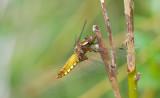 D40_9387F platbuik (Libellula depressa, broad-bodied chaser or broad-bodied darter).jpg