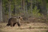D4S_7667F Europese bruine beer (Ursus arctos arctos, Eurasian brown bear).jpg