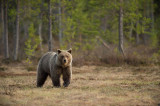 D4S_7729F Europese bruine beer (Ursus arctos arctos, Eurasian brown bear).jpg